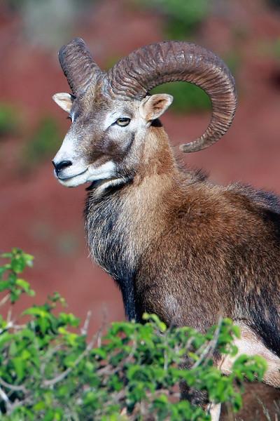 """Mouflon Ram"" - Island of Lana'i, Hawaii"