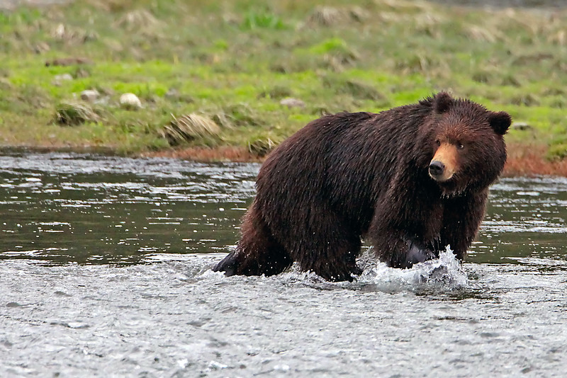 """""""Grizzly Looking Back"""" - Alaska"""