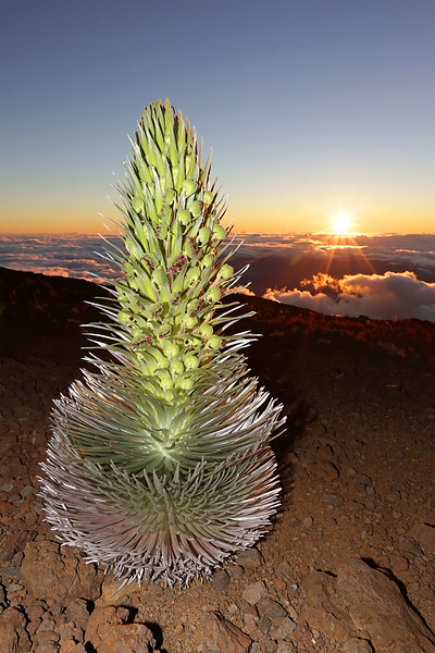Silversword Sunrise at Haleakala I