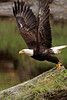 """Bald Eagle Takeoff"" - Alaska"