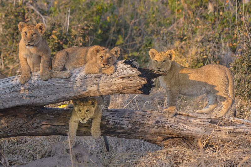 Cubs, Okavango Delta, Botswana