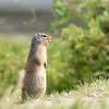 North american Pika waiting for his share of apple...