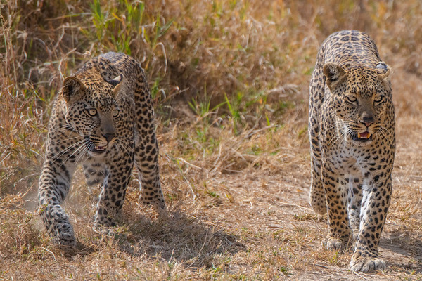 Mother leopard and cub, Tanzania