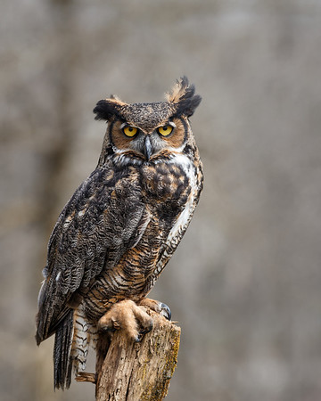 Great Horned Owl #2