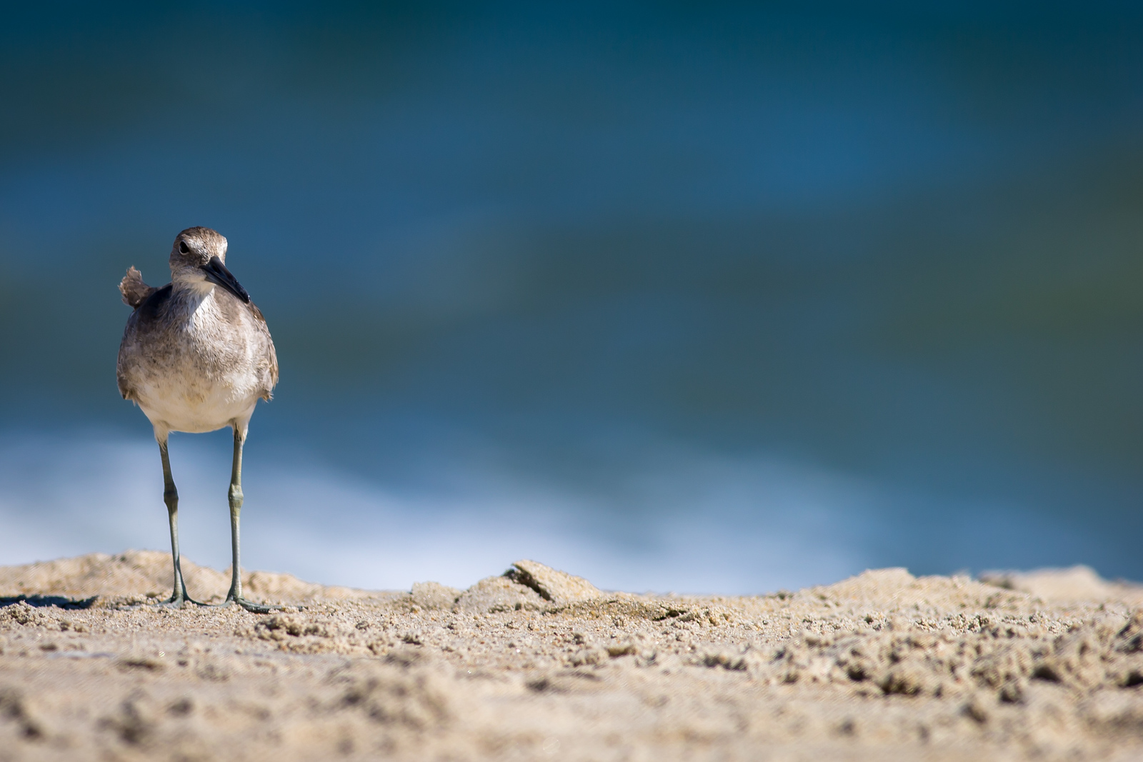 adillenseger rodanthe seabird