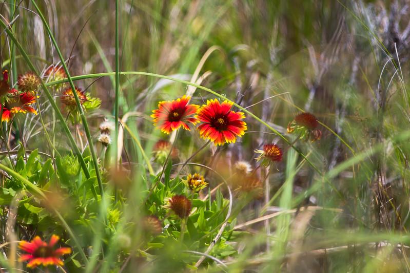 adillenseger cape hatteras flower