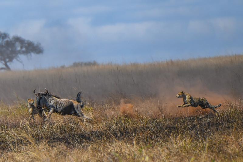 Wildebeest Escape, Serengeti, Tanzania
