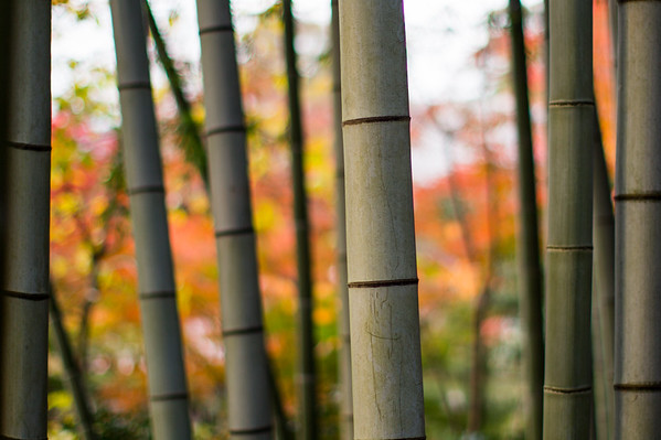 Bamboo & Maples • Kyoto