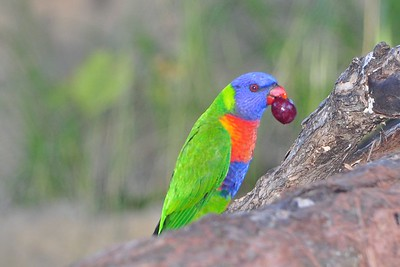 A parrot eats a grape in Australia
