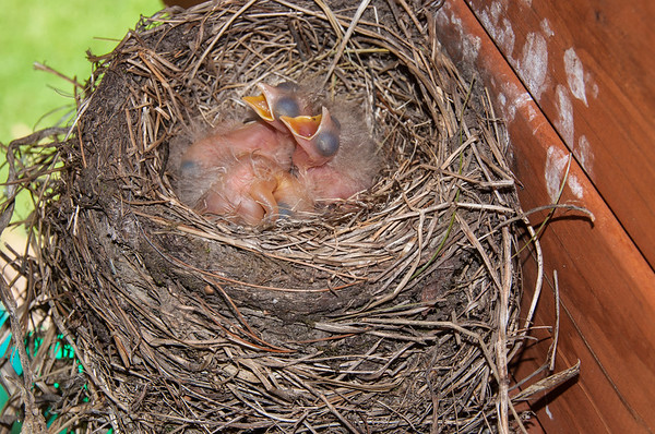 Four baby robins waiting for mom to feed them.