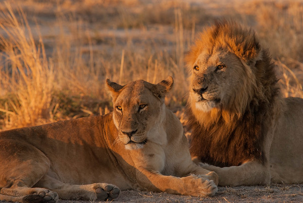 Lion Pair at sunset, Chobe, Botswana