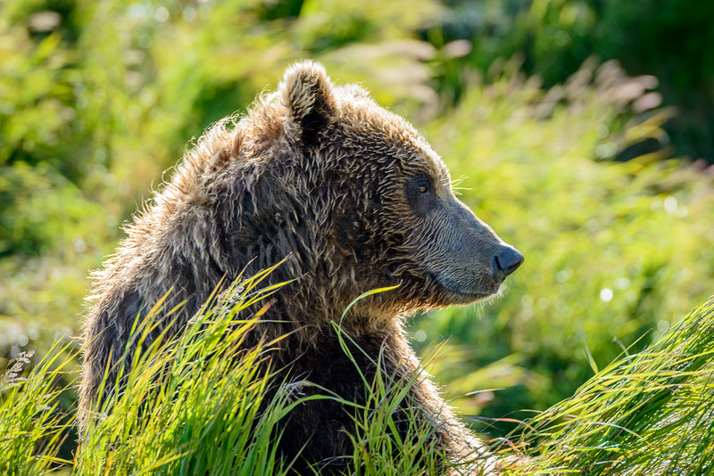 Coastal Brown Bear | McNeil River State Game Refuge