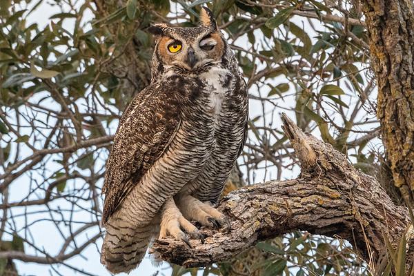 Great Horned Owl, Melbourne, Florida