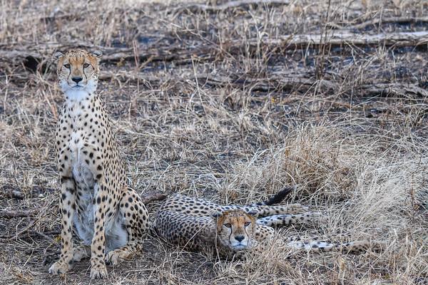 Cheetah Brothers, Serengeti, Tanzania