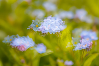 Impressions of Spring - Forget-me-nots