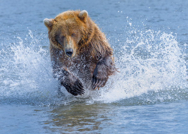 Coastal Brown Bear Chasing Salmon