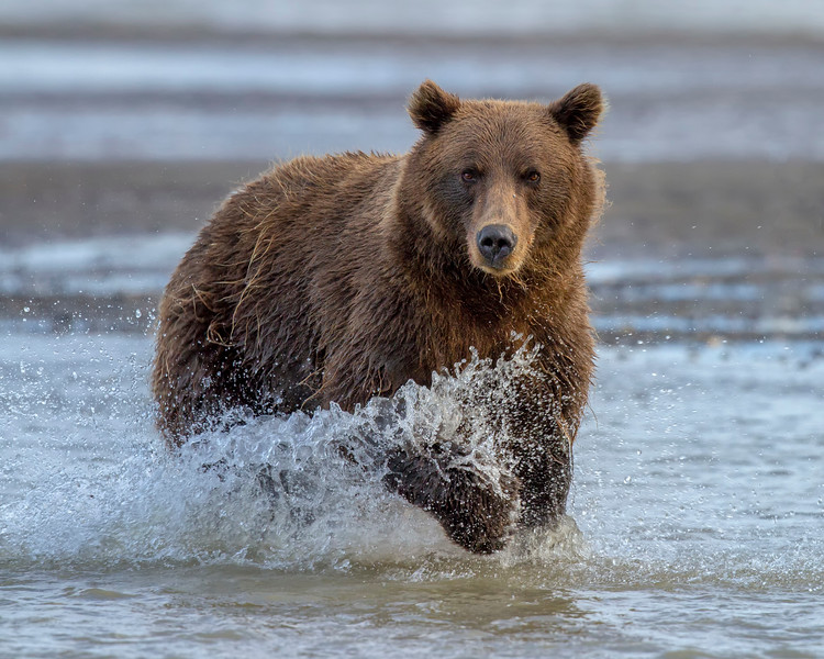 Coastal Brown Bear (Ursus arctos)