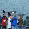 Viewing Orcas