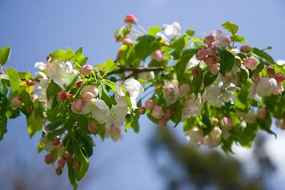2010-0403_BlossomingTree_001