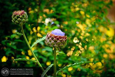 Flowering Garden Artichokes