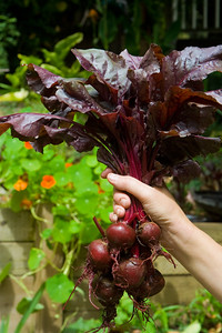 Fresh Garden Grown Beets