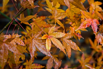 Japanese Maple - Fall Colors