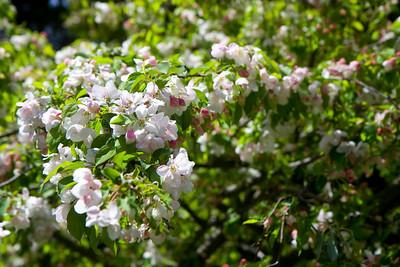 2010-0403_BlossomingTree_002