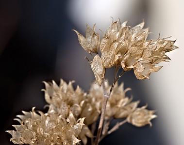 Caryopteris seedheads