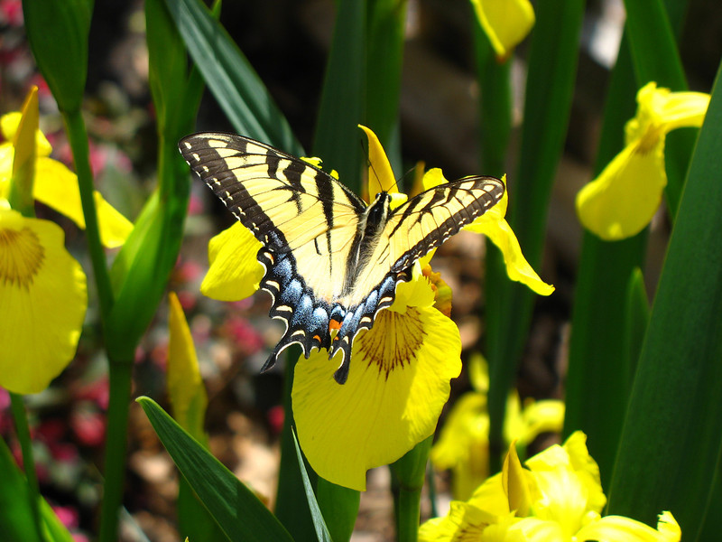 Tiger Swallowtail and Irisis