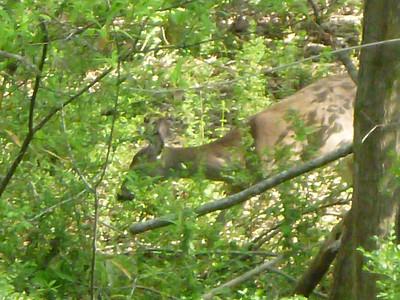 More deer in the yard