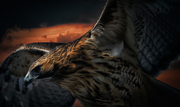 Close Up- Red Tailed Hawk