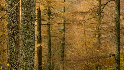 Larches and Lichen