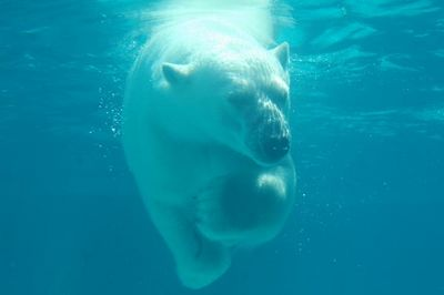 Polar Bear in Chicago 4139.  The Lincoln Park Zoo has a polar bear tank, with glass sides, which is how I got this one.