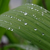 Raindrops on a lily leaf