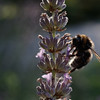 Bumblebee on lavender, backlit by evening sun