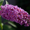 Summer lilac blossoms in the morning sun