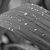 Raindrops on a lily leaf (b/w)