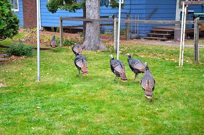201010 Turkey's In Minneapolis