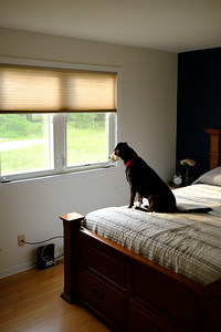 Scarlett looking out of the window in our old guest bedroom on June 05, 2017. The lot next door, 2714, is still empty as the house has not been built yet.