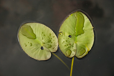Two Water Lilys (Nymphaeaceae)