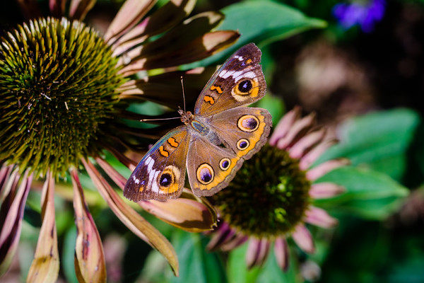 Common Buckeye on an Eastern Purple Coneflower
