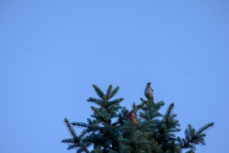 Northern Mockingbird  (Mimus polyglottos) and House Finch In A Tree At Sunrise