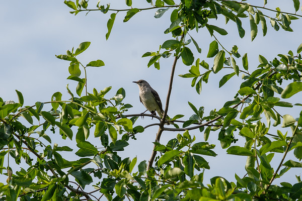 Northern Mockingbird In A Tree