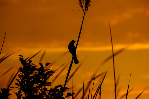 Red Winged Blackbird (Agelaius phoeniceus) At Sunset
