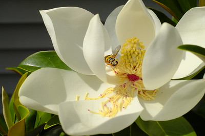 Flower on the magnolia tree in our backyard on Thusday, July 1st, 2021