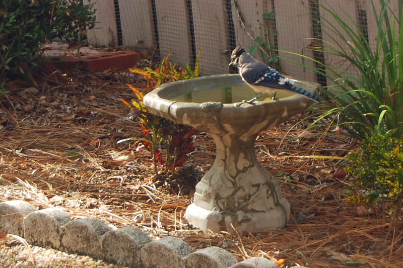 0017 Bathing Bluejay