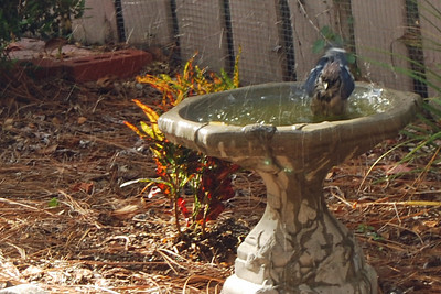 0023 Bathing Bluejay