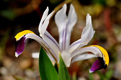 Iris rosenbachiana darawas strain   Flowering period : february-march  height : 10-15 cm's