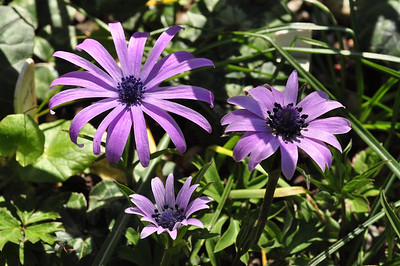 Anemone hortensis  Flowering period : march-may  height : 10-15 cm's