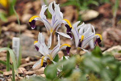 iris rosenbachiana darawas strain